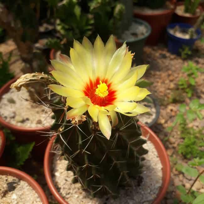 Cacto com flor amarela ornamental