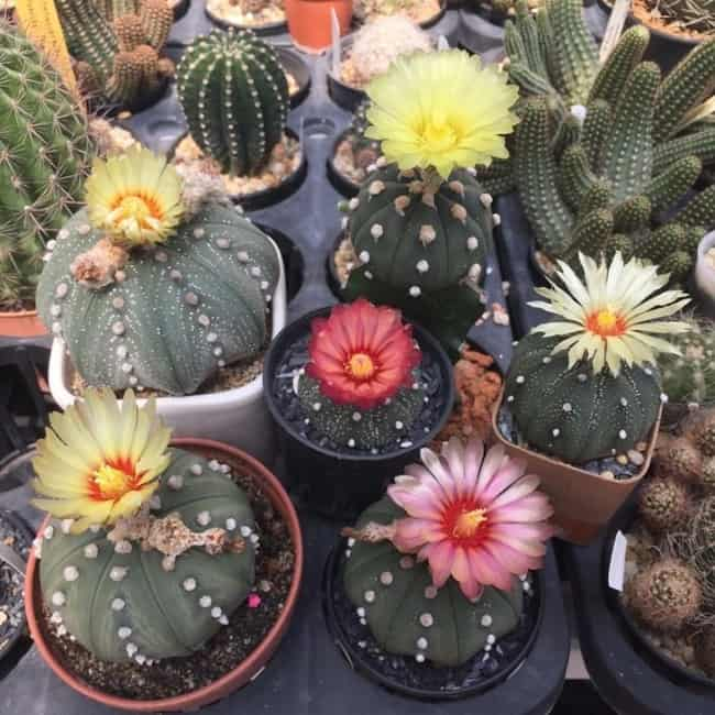 Cactos com flores