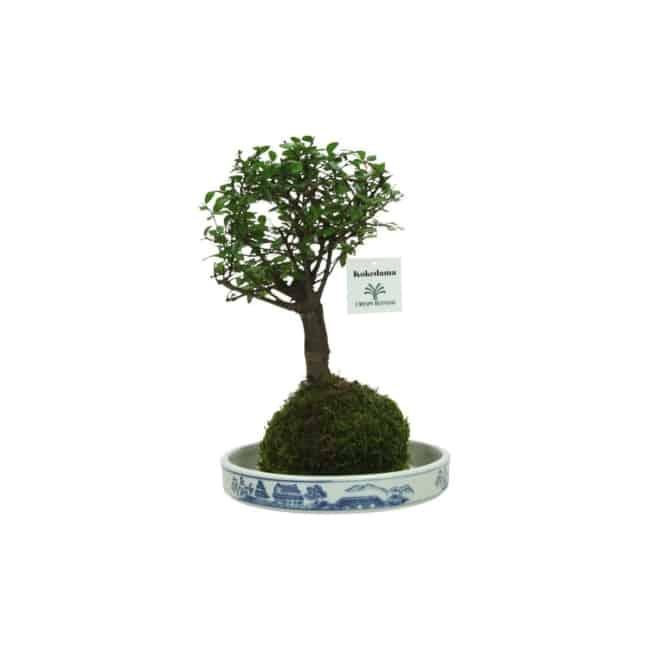 Exemplo de kokedama de bonsai