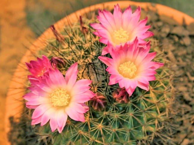 Flores rosas em mini cactos