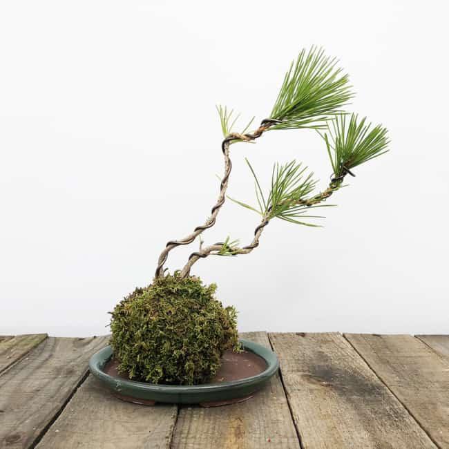 Kokedama de bonsai para decoração