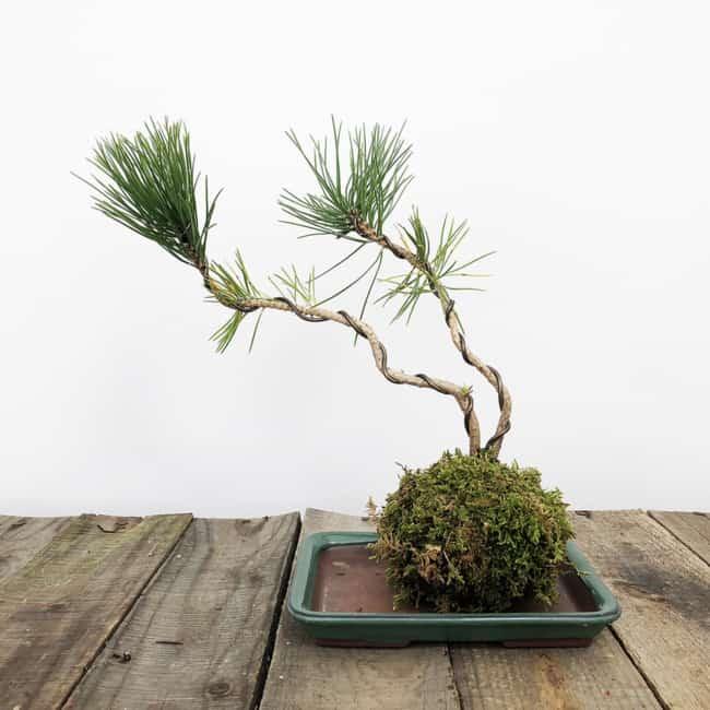 Kokedama de bonsai para paisagismo