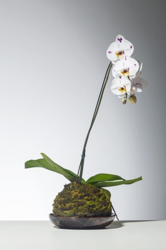 Kokedama de orquídea branca
