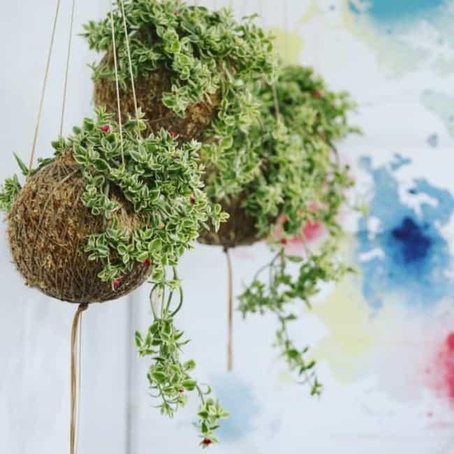 Kokedama de planta pequena