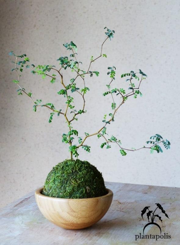 Kokedama super diferente de bonsai