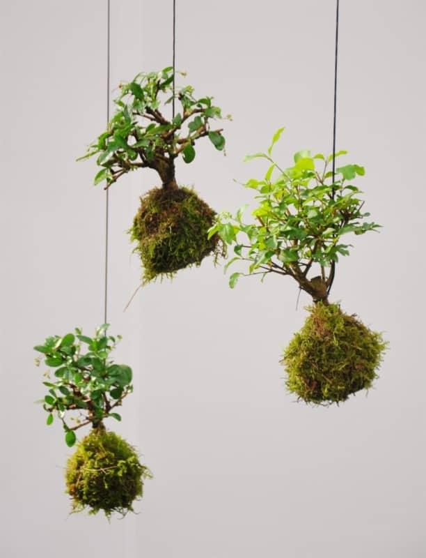 Kokedamas de bonsais