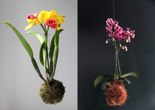 Kokedamas de orquídeas coloridas