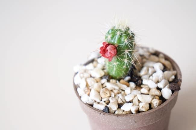 Mini cacto com flor pequena