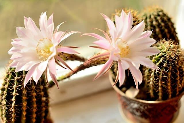 Mini cacto com flor super delicada