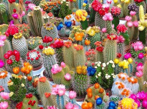 Mini cactos com flores coloridinhas