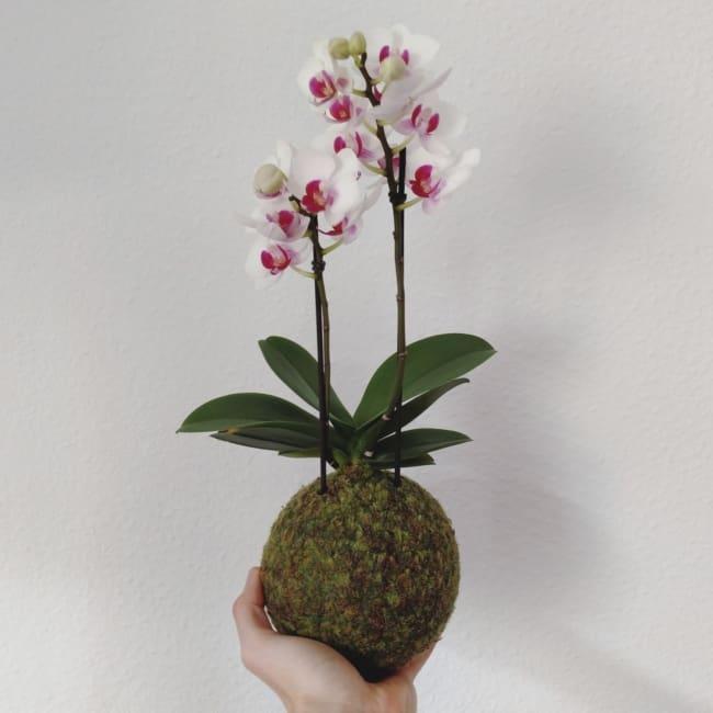 Modelo de kokedama de orquídea branca