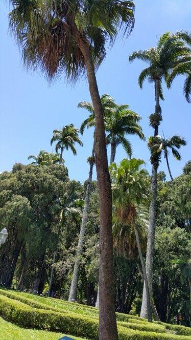 Palmeira imperial como cuidar