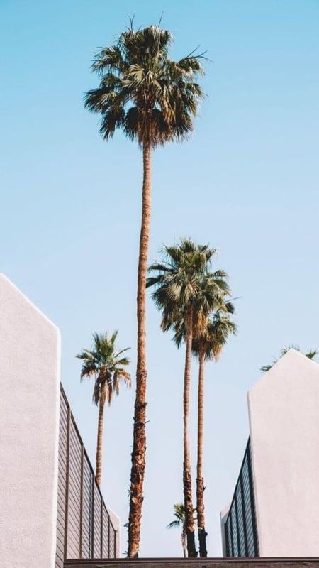 Palmeira imperial como plantar