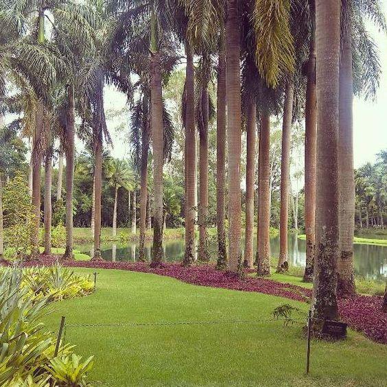 Palmeira imperial cuidados gerais