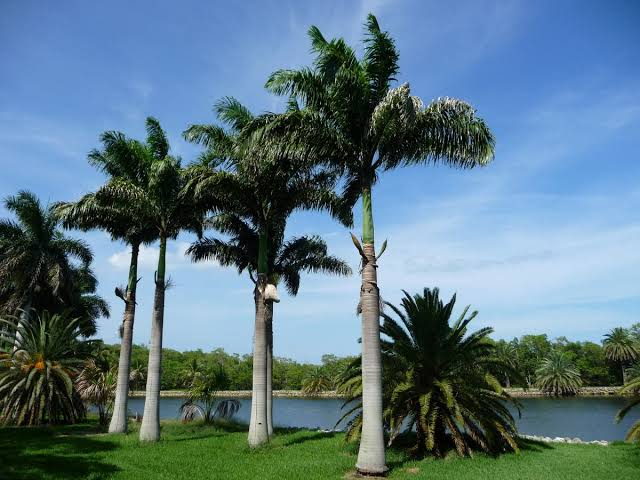 Palmeira imperial das antilhas