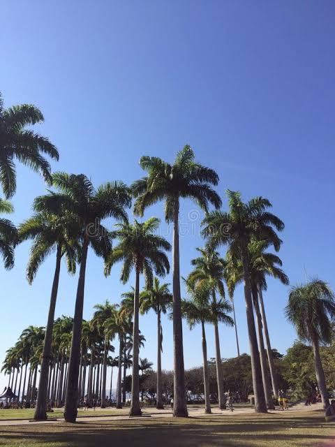 Palmeira imperial e real