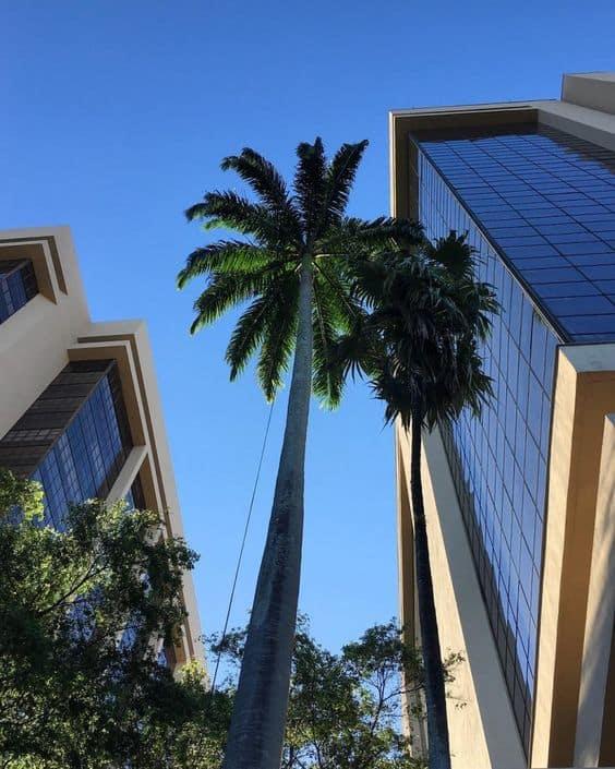 Palmeira imperial em area urbana