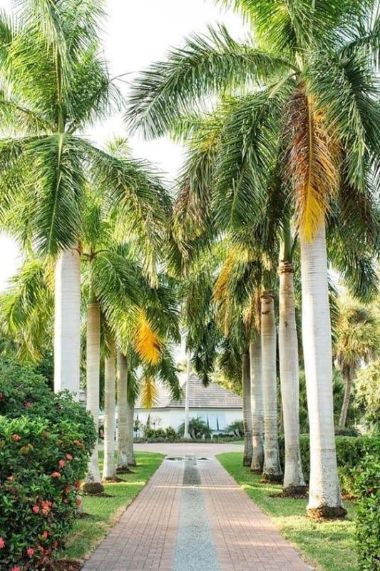 Palmeira imperial em calçadas