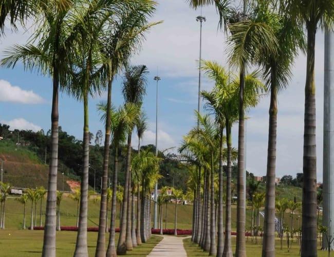 Palmeira imperial em entradas