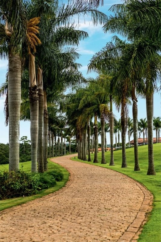 Palmeira imperial em fazenda