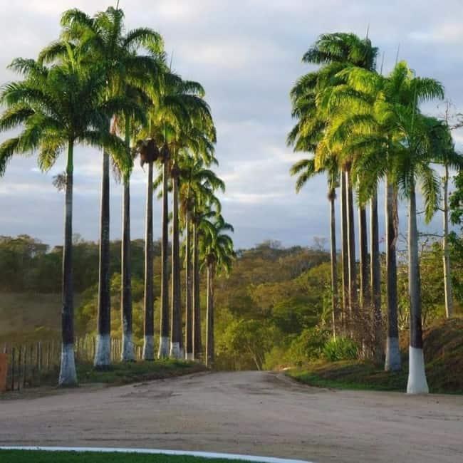 Palmeira imperial em fazendas