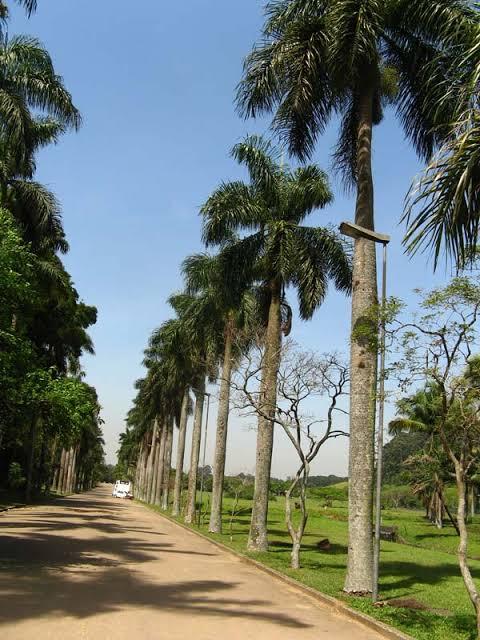 Palmeira imperial estrada