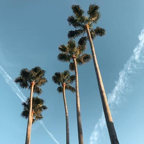 Palmeira imperial grande