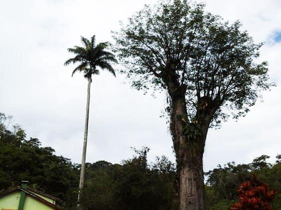 Palmeira imperial unica