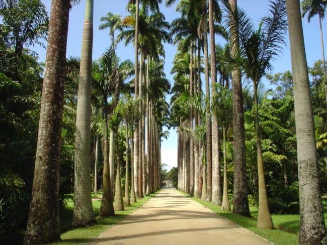 caminho com Palmeira imperial