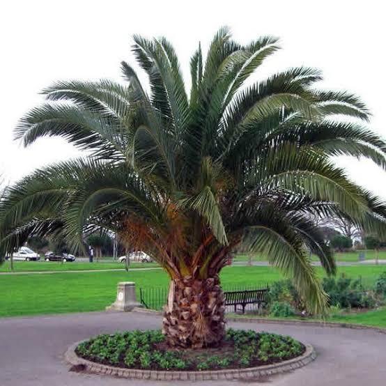 especie de palmeira das canarias