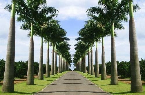 fotos de Palmeira imperial