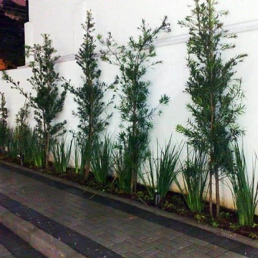 jardim externo com podocarpo