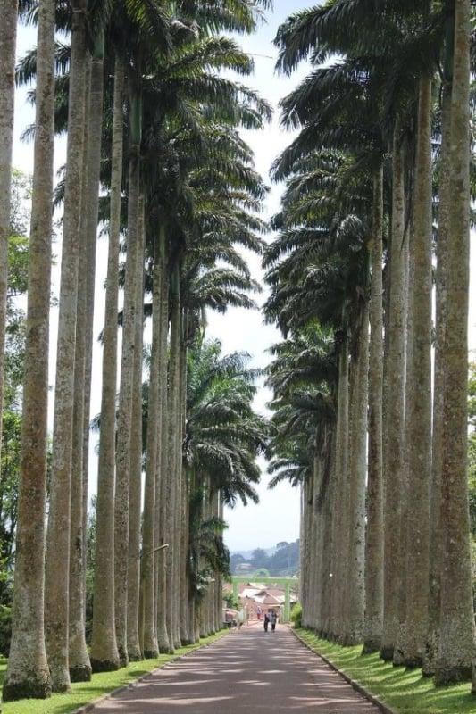 medidas da Palmeira imperial