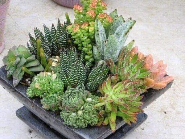 mini jardim de cactos e suculentas em vaso quadrado