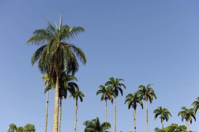 mudas de Palmeira imperial