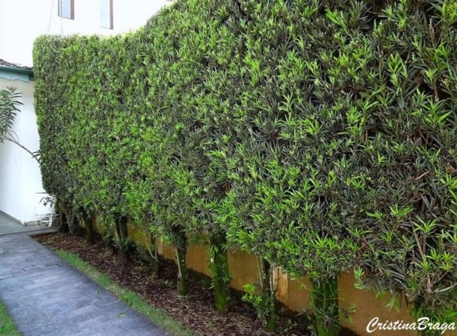 muro e cerca de podocarpo
