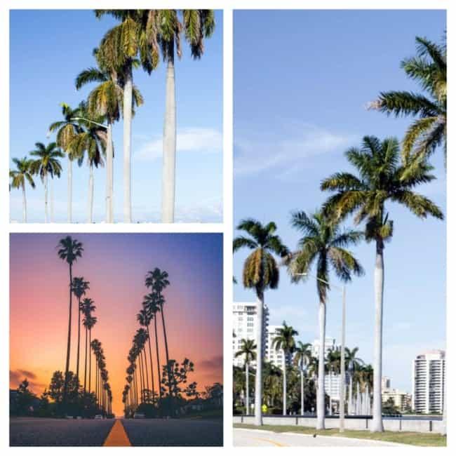 palmeira imperial na praia