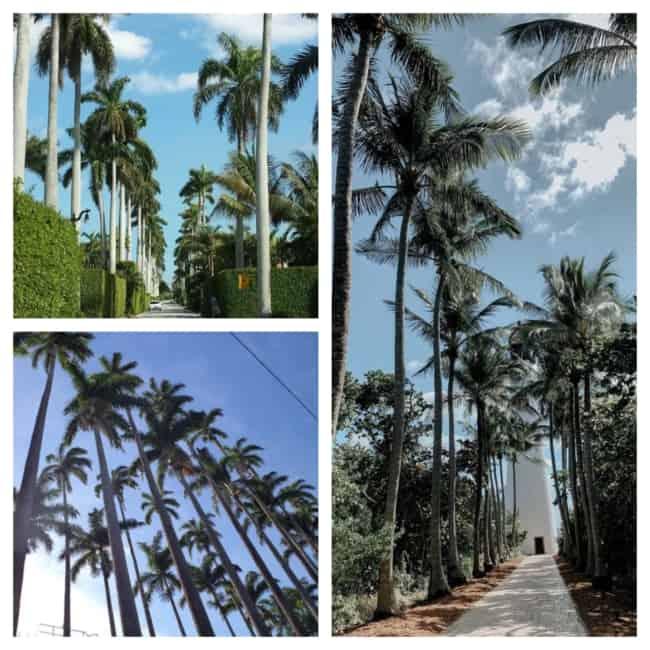 palmeira real altura