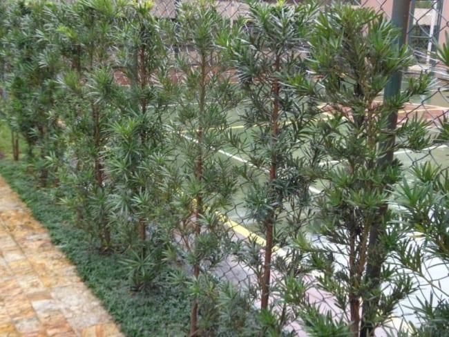 podocarpo em jardins