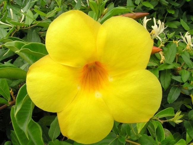 flor alamanda