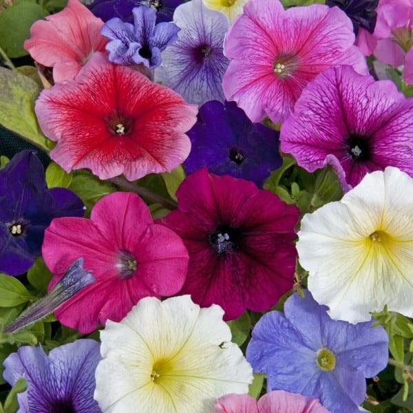 flor petúnia