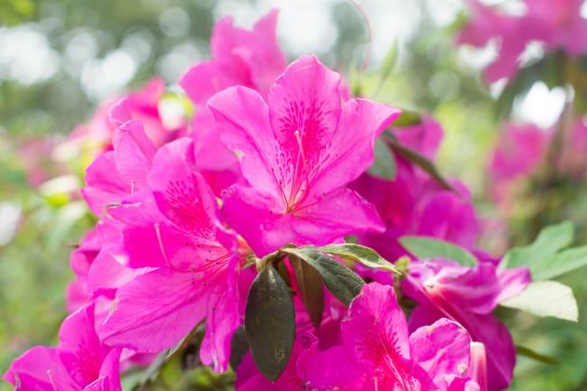flor de azaleia