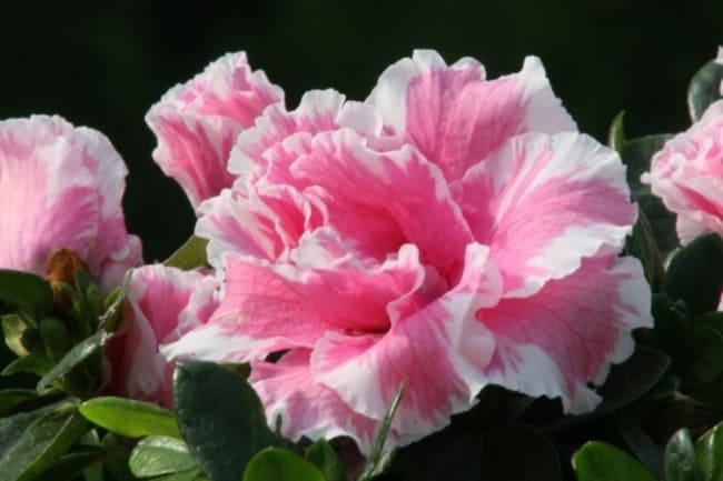 azaleia rosa e branca