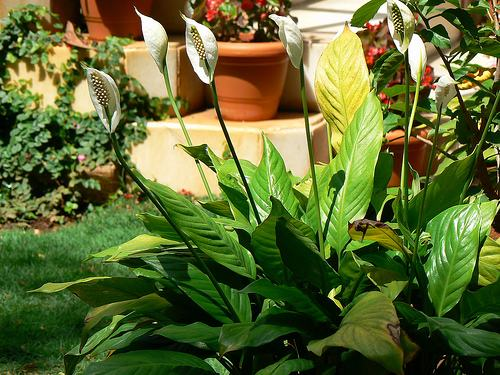 jardim com plantas e lírio da paz