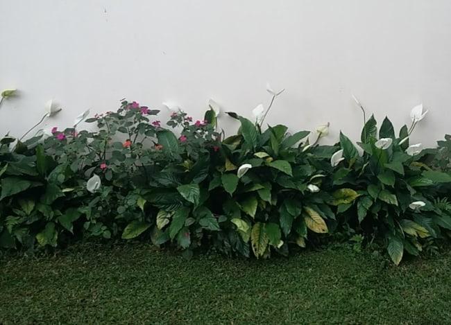 jardim gramado com lírio da paz