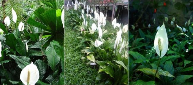 jardim externo com lírio da paz