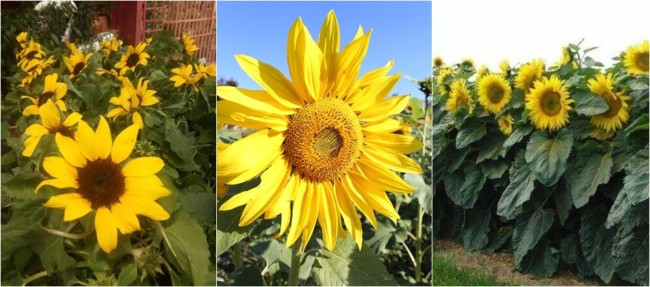 flor para jardim com sol