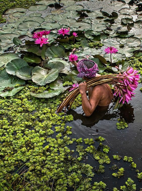 como cuidar de flor de lótus