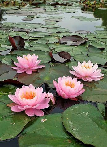 como plantar flor de lótus