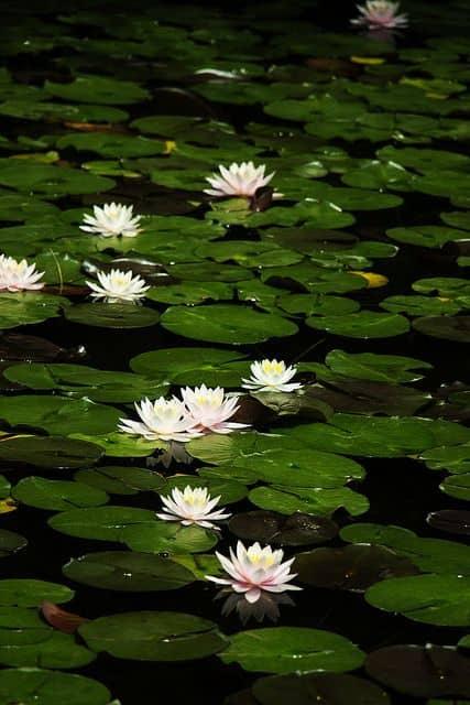 cultivo de flor de lótus